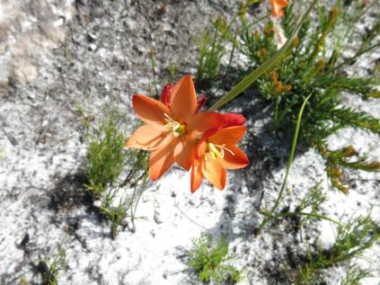 Gladiolus brevitubus