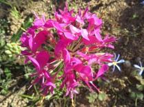 Pelargonium incrassatum