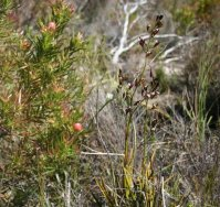 Acrolophia lamellata plant