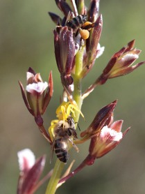 Acrolophia lamellata with honey bees and crab spider