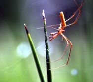 Long-jawed water spider Tetragnatha sp (male) on a plant, Cyperus sp