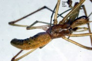 Tetragnatha sp. (male, dorsal)