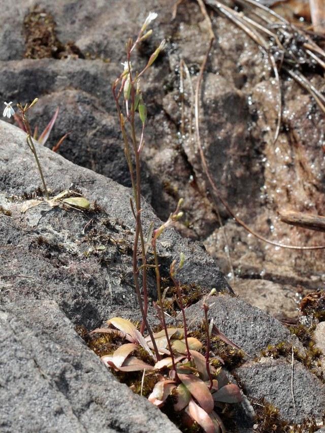 Wimmerella arabidea