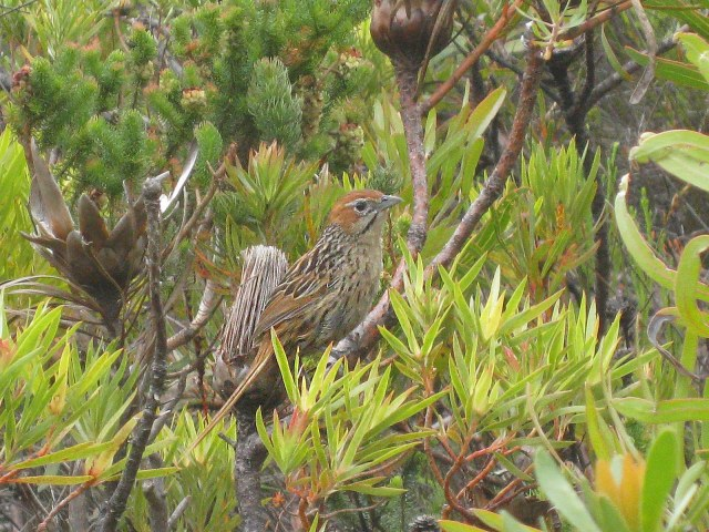 A well camouflaged Grassbird at Fernkloof