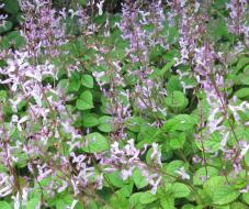 Plectranthus groundcover