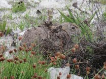 A hare near the road