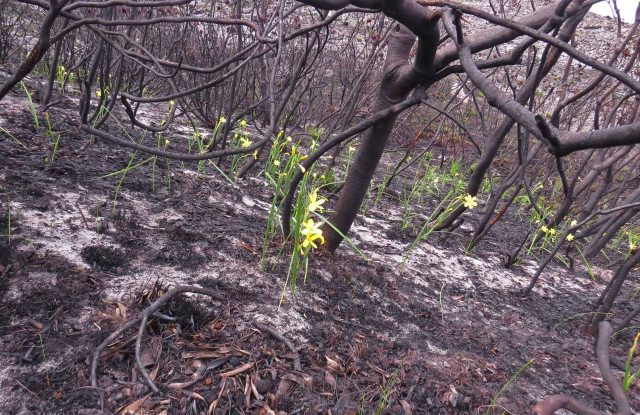 Morea pyrophila resize