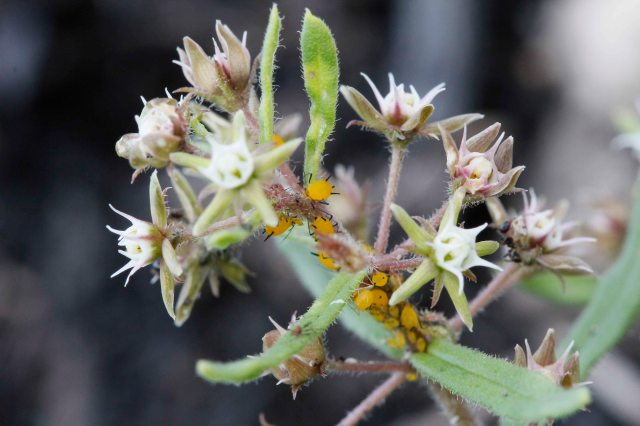 Aspidoglossum-heterophyllum+olender-aphid=Aphis-nerii+GR-20feb16-_MG_0150