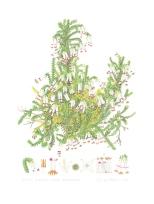 Erica banksii subsp purpurea