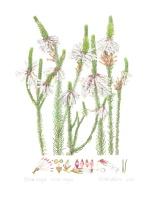 Erica regia subsp regia