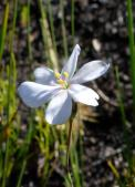 Aristea zeyheri - white form