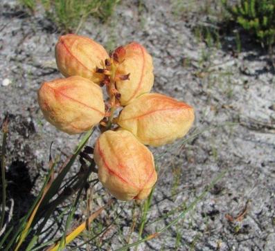 Tritoniopsis parviflora