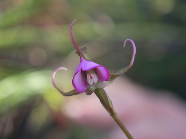 Disperis capensis