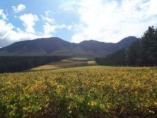 De Bos vines