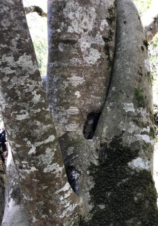 Tree hugging White Stinkwoods
