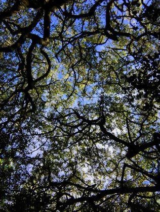 Sheltering sky of a millennium-old Milkwood