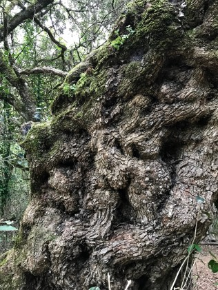 The skin of time: 1000 year old Milkwood