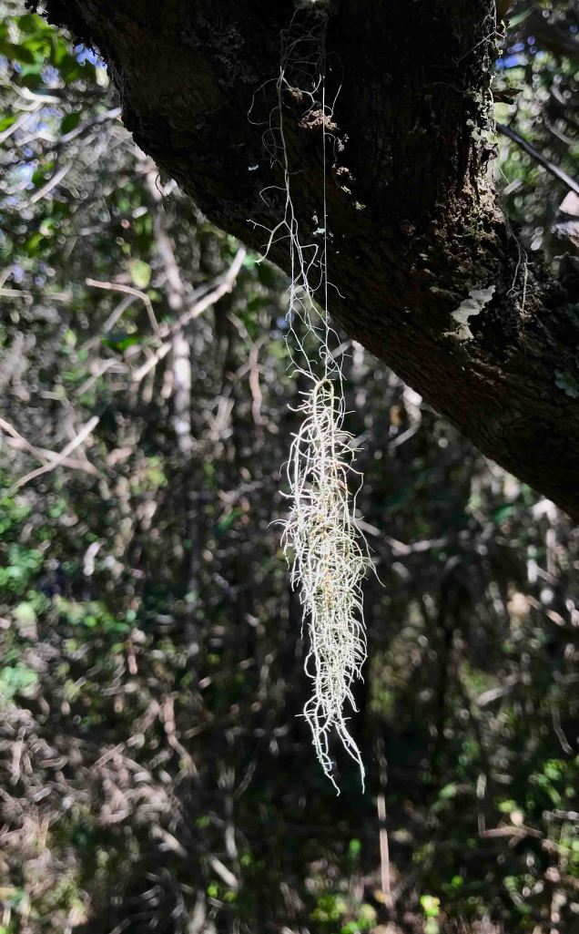 Wisps of Old Man's Beard don't speak of healthy trees, but bring a touch of forest magic