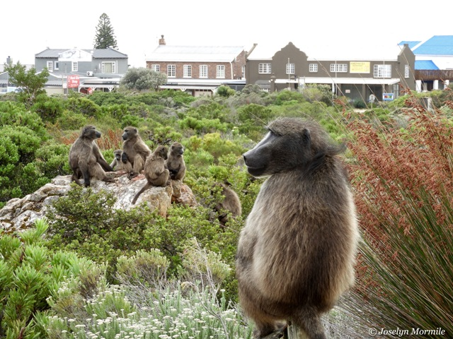 Baboon 1 - Copy