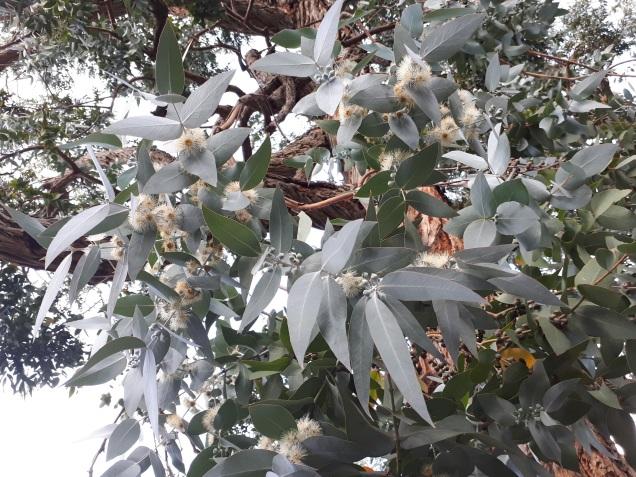 Flowers of Eucalyptus cinerea