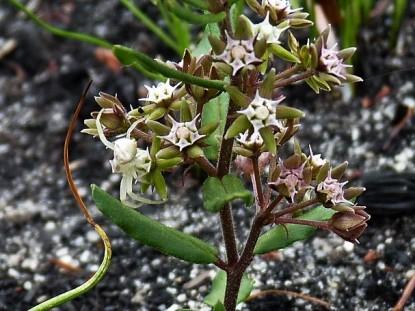 Aspidoglossum heterophyllum Derek Silberblatt