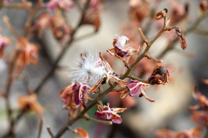 Eriospermum dielsianum fluffy seeds