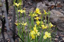 Moraea pyrophila